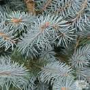 Buy Picea pungens Blue Diamond online from Jacksons Nurseries