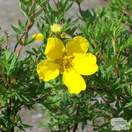 Buy Potentilla fruticosa Goldfinger (Cinquefoil) online from Jacksons Nurseries.