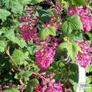 Buy Ribes sanguineum Pulborough Scarlet (Flowering Currant) online from Jacksons Nurseries