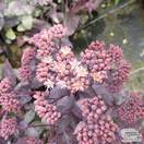 Buy Sedum telephium (Atropurpureum Group) 'Purple Emperor' (Stonecrop) online from Jacksons Nurseries