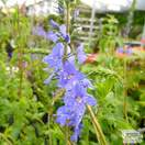Buy Veronica 'Shirley Blue' (Speedwell) online from Jacksons Nurseries