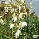 Buy Yucca filamentosa (Adam's Needle) online from Jacksons Nurseries