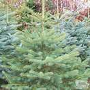 Buy Abies Nordmanniana online from Jacksons Nurseries