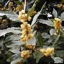 Buy Laurus nobilis (Bay Laurel) online from Jacksons Nurseries