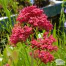 Buy Centranthus ruber Coccineus online from Jacksons Nurseries