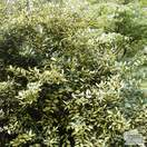 Buy Elaeagnus pungens Maculata (Spotted Oleaster) online from Jacksons Nurseries