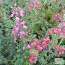 Buy Erica cinerea 'Stephen Davis' (Heather) online from Jacksons Nurseries.