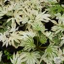 Buy Fatsia japonica 'Spider's Web' (Japanese aralia) online from Jacksons Nurseries.