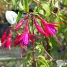 Buy Fuchsia magellanica (Lady's Eardrops) online from Jacksons Nurseries.