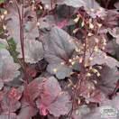 Buy Heuchera Midnight Rose online from Jacksons Nurseries