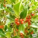 Buy Ilex aquifolium online from Jacksons Nurseries.