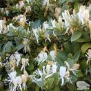Buy Lonicera japonica Halliana online from Jacksons Nurseries