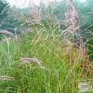 Buy Miscanthus sinensis Kleine Fontane online from Jacksons Nurseries