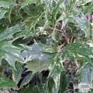 Buy Osmanthus heterophyllus Goshiki (False Holly) online from Jacksons Nurseries