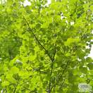 Buy Populus tremula (Aspen) online from Jacksons Nurseries