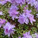 Buy Rhododendron impeditum Select (Dwarf Rhododendron) online from Jacksons Nurseries