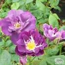 Buy Rosa Rhapsody in Blue (Celebration Floribunda Rose) online from Jacksons Nurseries