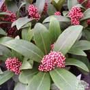 Buy Skimmia japonica Rubella (Japanese Skimmia) online from Jacksons Nurseries