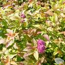 Spiraea japonica 'Firelight' - Jacksons Nurseries