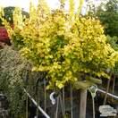 Ulmus × hollandica 'Wredei' (Upright Golden Elm)