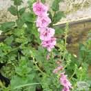 Buy Verbascum Pink Domino online from Jacksons Nurseries