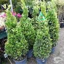 Buy Laurus Nobilis Cone online from Jacksons Nurseries