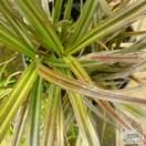 Buy Astelia nervosa 'Red Devil' (Bush Flax) online from Jacksons Nurseries.
