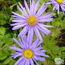 Buy Aster x frikartii Mönch (Michaelmas Daisy) online from Jacksons Nurseries
