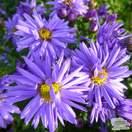 Buy Aster novi-belgii 'Lady in Blue' online from Jacksons Nurseries