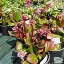 Buy Bergenia cordifolia (Elephant's Ears) online from Jacksons Nurseries