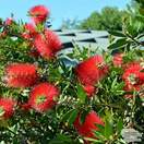 Buy Callistemon Inferno (Bottlebrush) online from Jacksons Nurseries