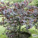 Buy Cercis canadensis Forest Pansy (North American Redbud) online from Jacksons Nurseries