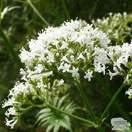 Buy Valeriana officinalis online from Jacksons Nurseries