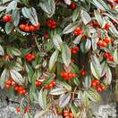 Buy Cotoneaster franchetii (Cotoneaster) online from Jacksons Nurseries