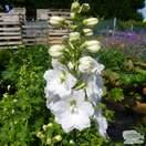 Buy Delphinium 'Magic Fountain White' (White Dwarf Delphinium) online from Jacksons Nurseries