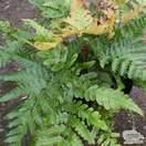Buy Dryopteris erythrosora var. prolifica (Copper Shield Fern) online from Jacksons Nurseries