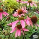 Buy Echinacea purpurea (Coneflower) online from Jacksons Nurseries.