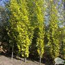Buy Fagus sylvatica Dawyck Gold (Tree) (Golden Fastigiate Beech) online from Jacksons Nurseries