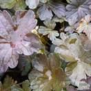 Geranium endressii 'Dusky Crug' - Jacksons Nurseries