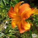 Buy Hemerocallis 'Primal Scream' (Daylily) online from Jacksons Nurseries. Guaranteed best value plants, low plant prices with fast UK delivery.