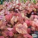 Buy Heucherella Sweet Tea online from Jacksons Nurseries
