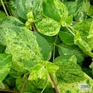 Buy Lonicera japonica Mint Crisp online from Jacksons Nurseries