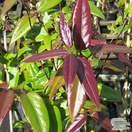 Buy Lonicera henryi Copper Beauty online from Jacksons Nurseries