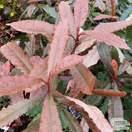 Buy Photinia serratifolia Crunchy 'REV100' from Jacksons Nurseries