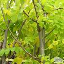 Buy Robinia pseudoacacia Frisia (False Acacia) online from Jacksons Nurseries