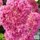 Buy Sedum cauticola (Stonecrop) online from Jacksons Nurseries