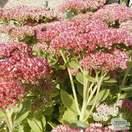 Buy Sedum Herbstfreude (Stonecrop) online from Jacksons Nurseries
