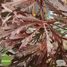 Buy Acer palmatum dissectum Crimson Queen (Japanese Maple) online from Jacksons Nurseries