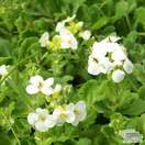 Buy Arabis caucasica Snowcap (Rock Cress Bloom) online from Jacksons Nurseries
