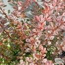 Buy Berberis thunbergii f. atropurpurea Rose Glow (Barberry) online from Jacksons Nurseries